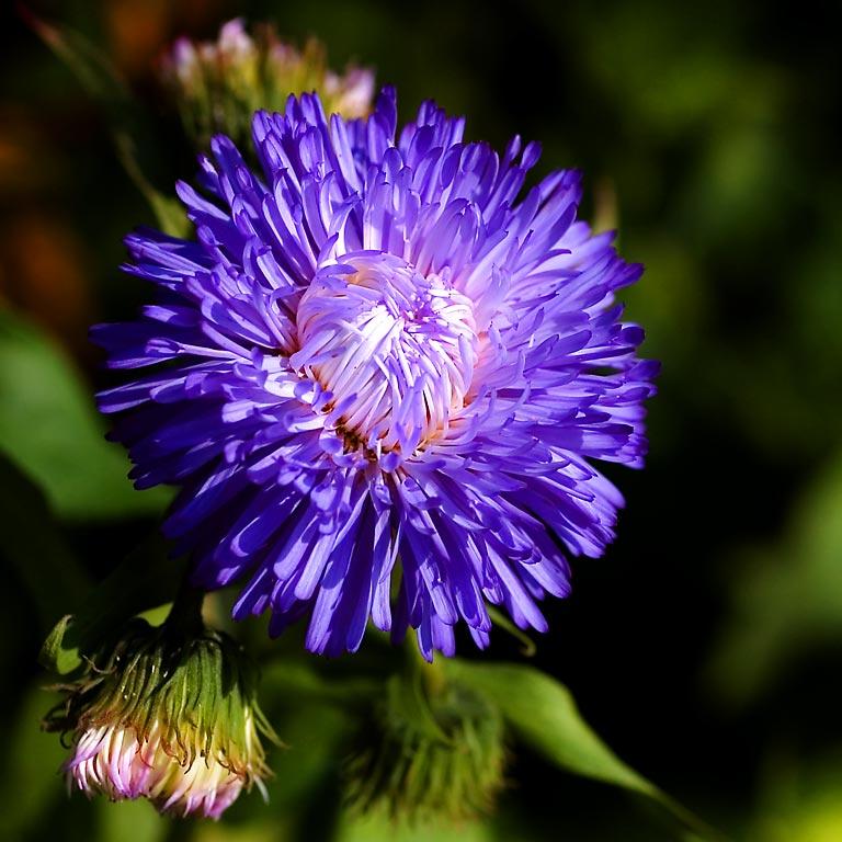 Blue flower, Old Coat Inn