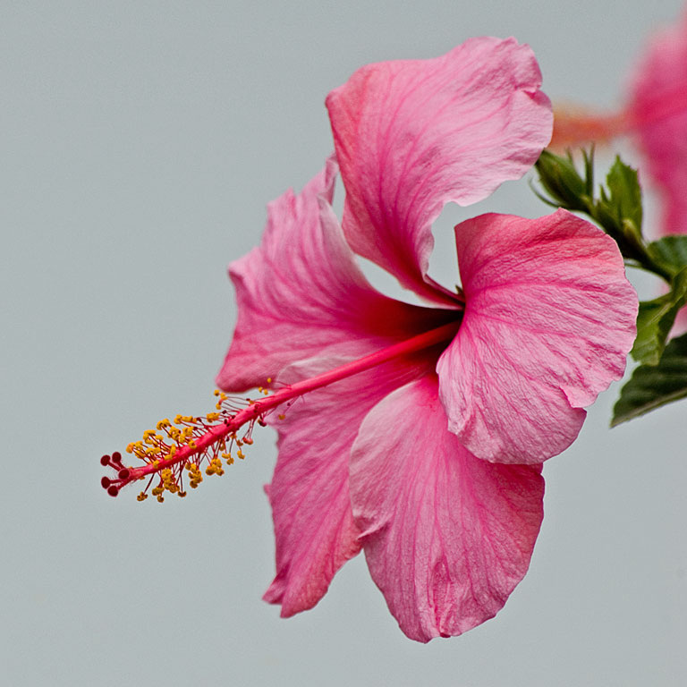 Another pink hibiscus