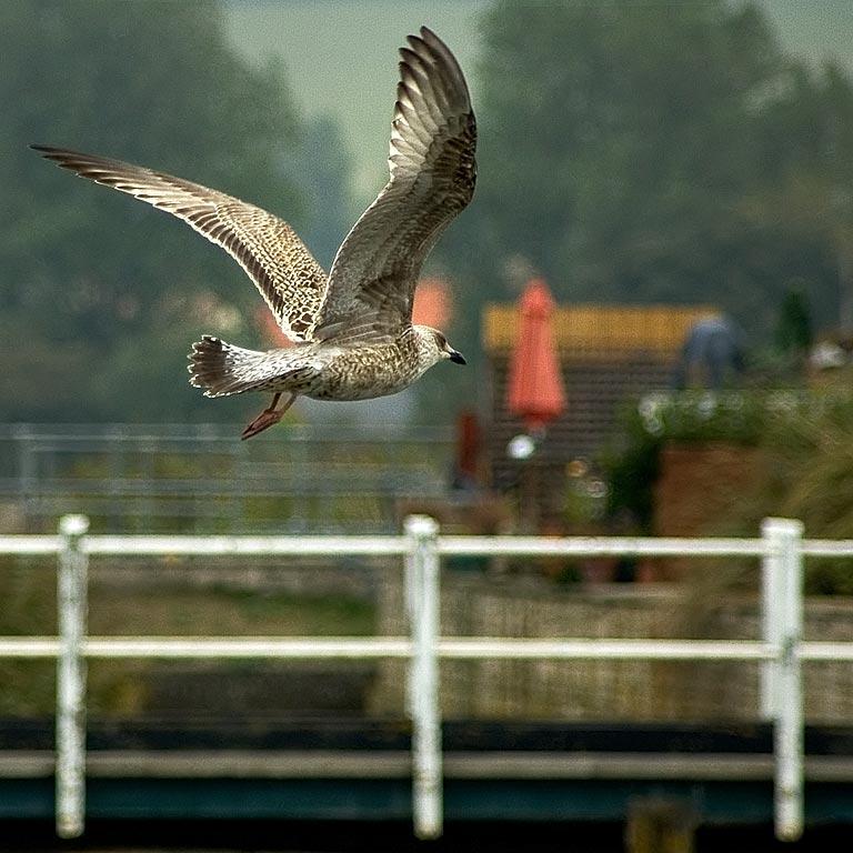 Flying gull, West Bay