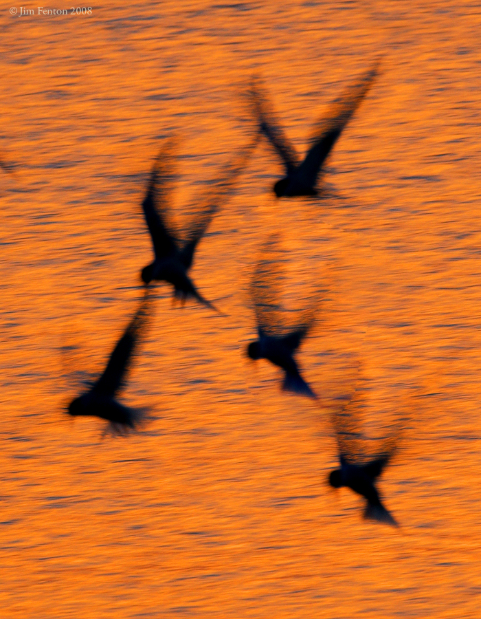 _NW83030 Common Terns at Goldenrod at Dusk.jpg