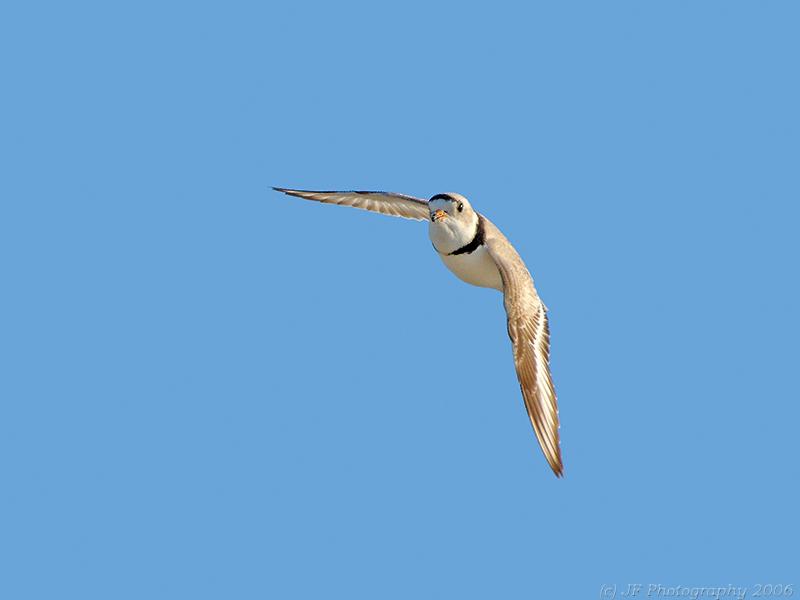 Piping Plover in Flight
