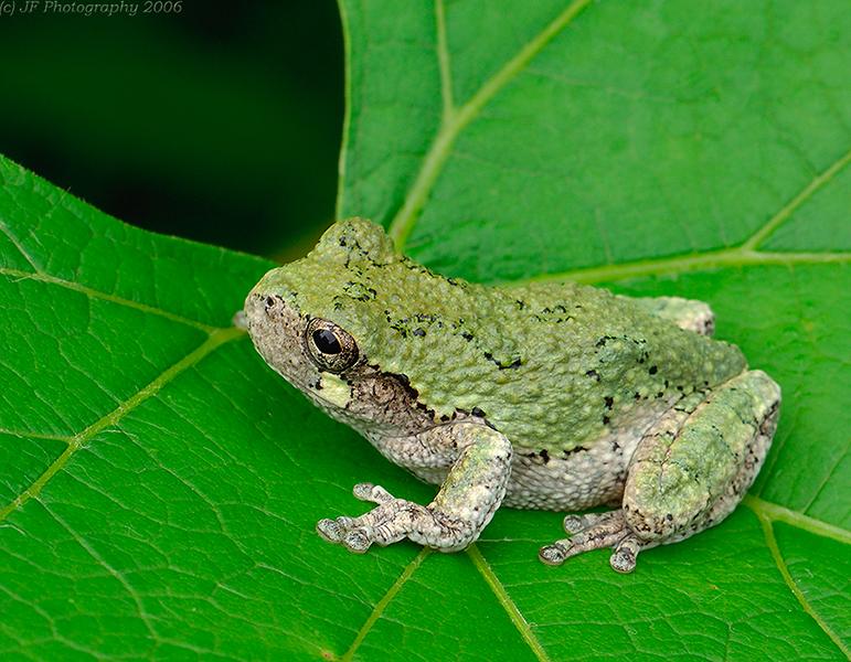 Tree Frog NE.jpg