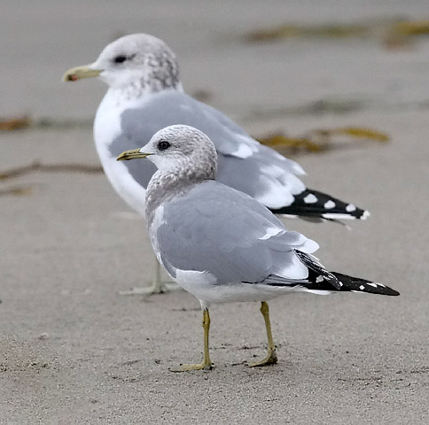 Mew Gull (front) with California Gull (rear), both basic adults