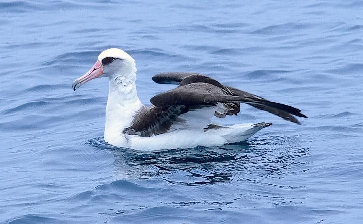 Laysan Albatross (#1 of 5)