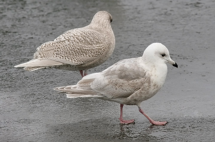 Kumliens Iceland Gulls, 1st cycle (left) with 2nd cycle