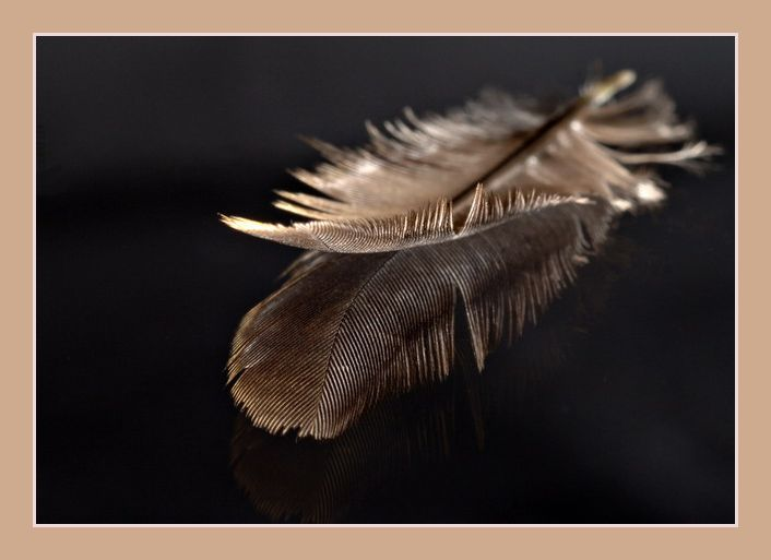 Blackbird feather