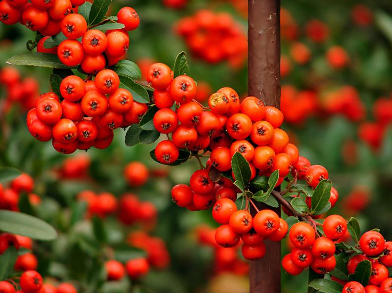 Berries Jubilee