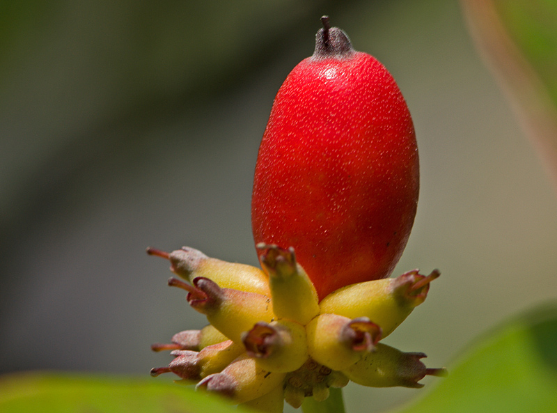 Dogwood berry 1