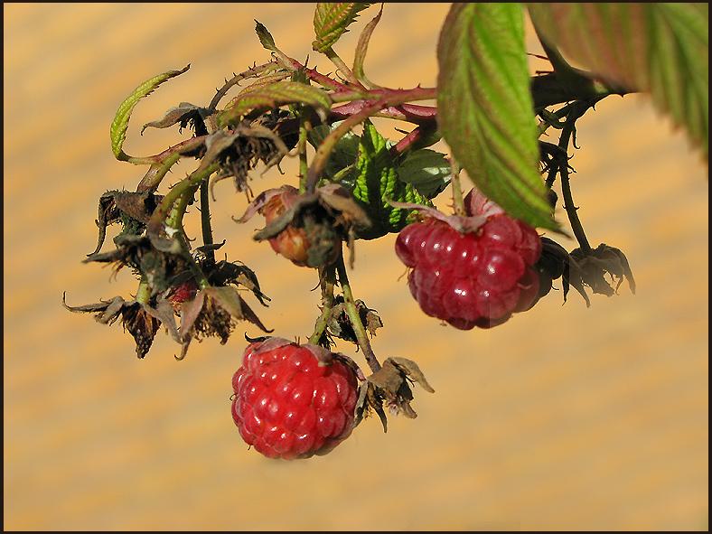 Autumn raspberries.jpg