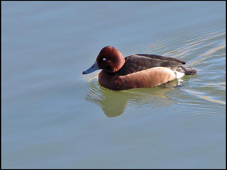 Ferruginous Duck - Aythya nyroca - Vitögd Dykand.jpg