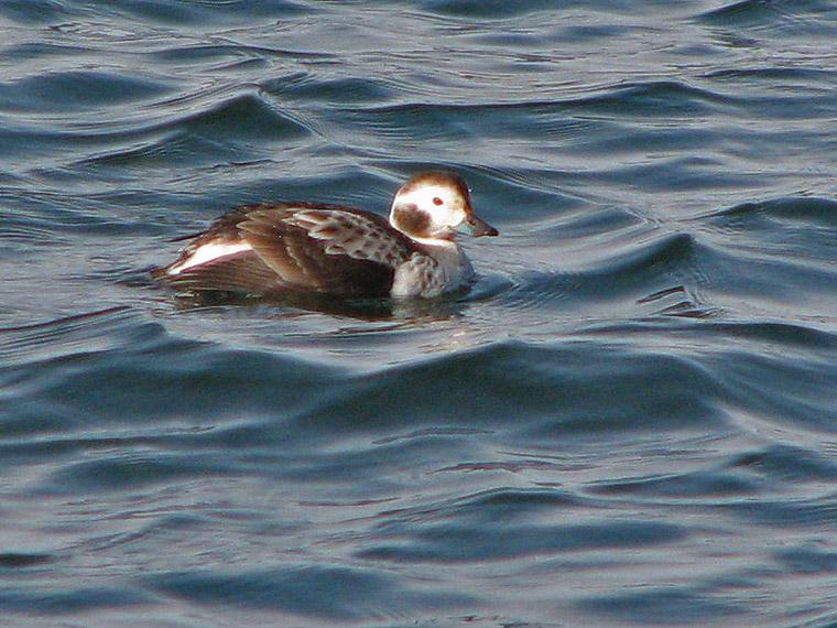 Long-tailed Duck - Anas acuta.jpg