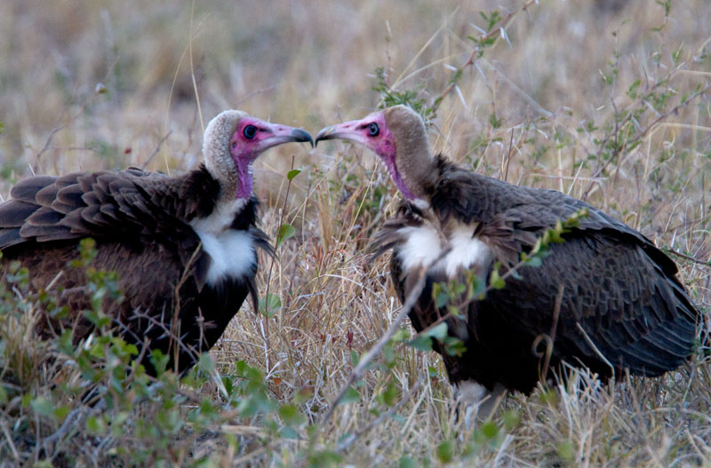 Who you calling ugly ? - Hooded Vultures