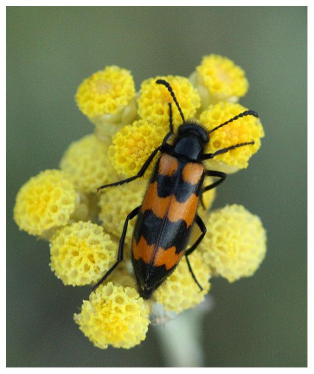 Mylabris polymorpha