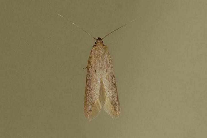 unidentified-2b (Oecophorinae)