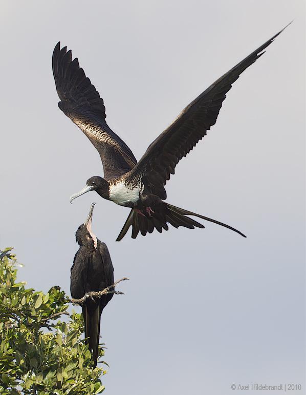 MagnificentFrigatebird10c5864.jpg