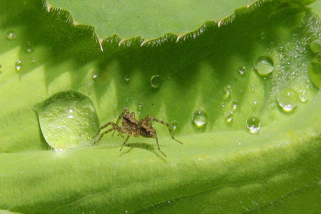 WaterdropSpider10.jpg