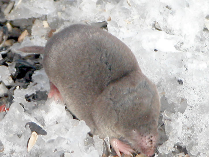 Blarina brevicauda - Grande musaraigne - Northern Short - tailed Shrew