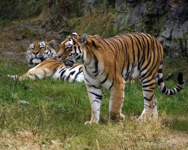 Tiger Awakens Sleeping Tiger