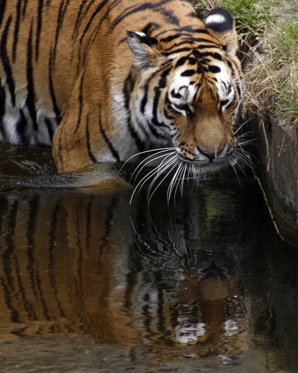 Tiger Contemplating His Reflection