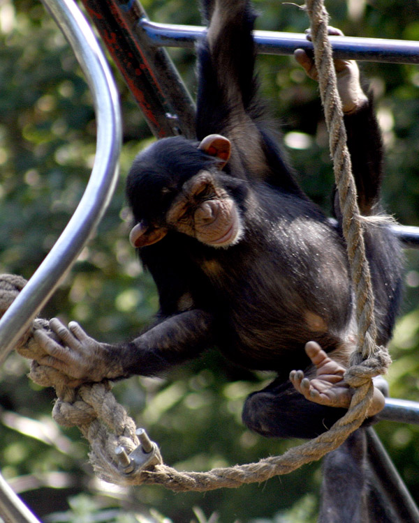 Chimp on the Ropes