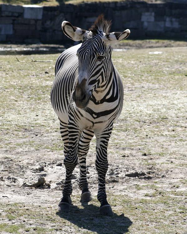 A Grevys Zebra