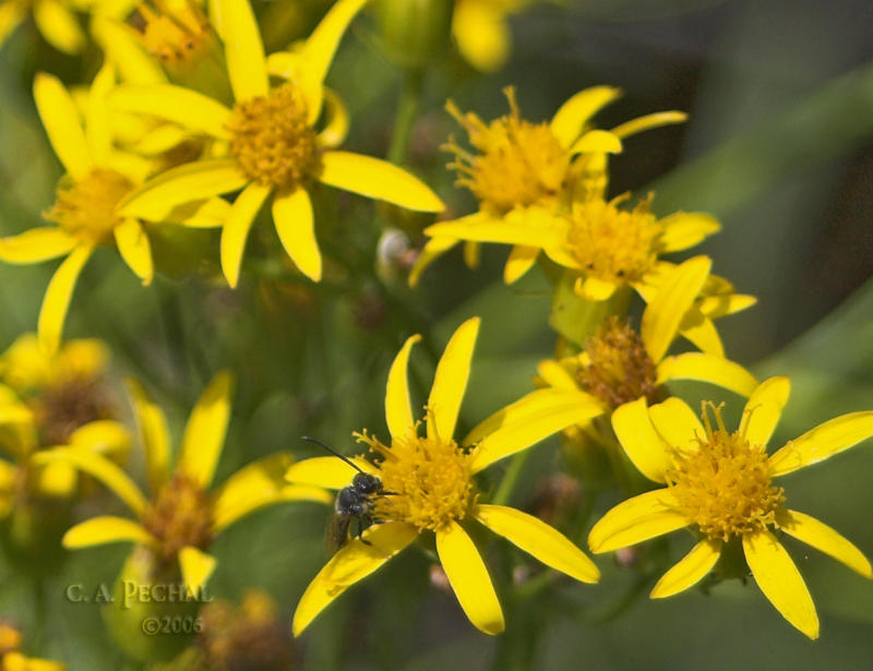 Brewers Butterweed ( Senecio breweri)
