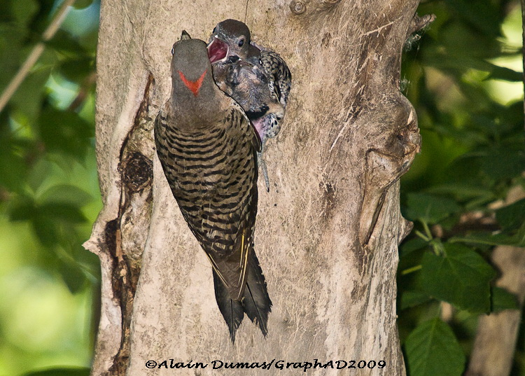 Pic Flamboyant Femelle avec Juvénile - Female Nothern Flicker with Juveniles
