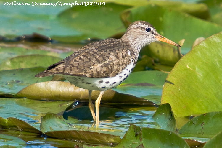 Chevalier Grivelé - Spotted Sandpiper 005