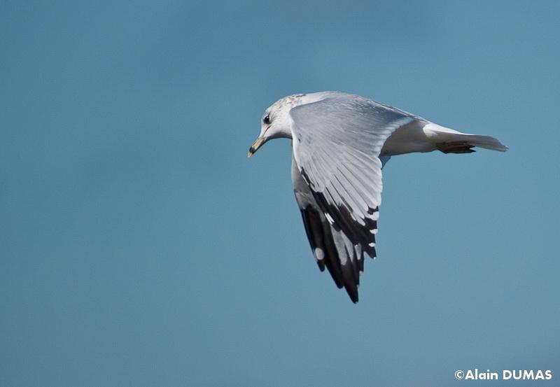 Goéland à bec cerclé - Ring billed Gull