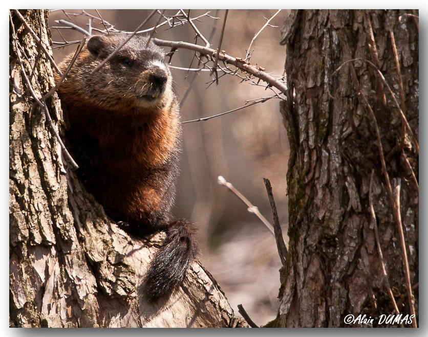 Marmotte Commune - Groundhog