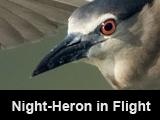 Night-Heron in Flight