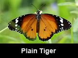 A Plain Tiger In My Garden