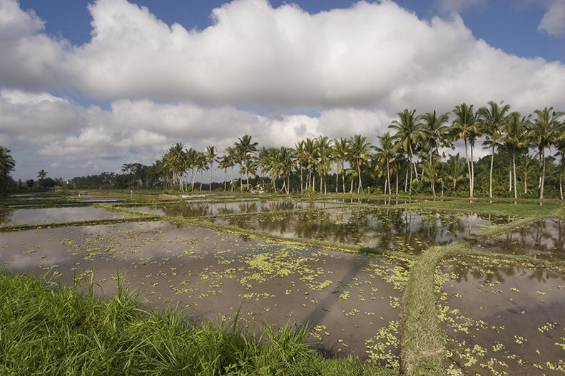 ubud, Bali.  rice paddy