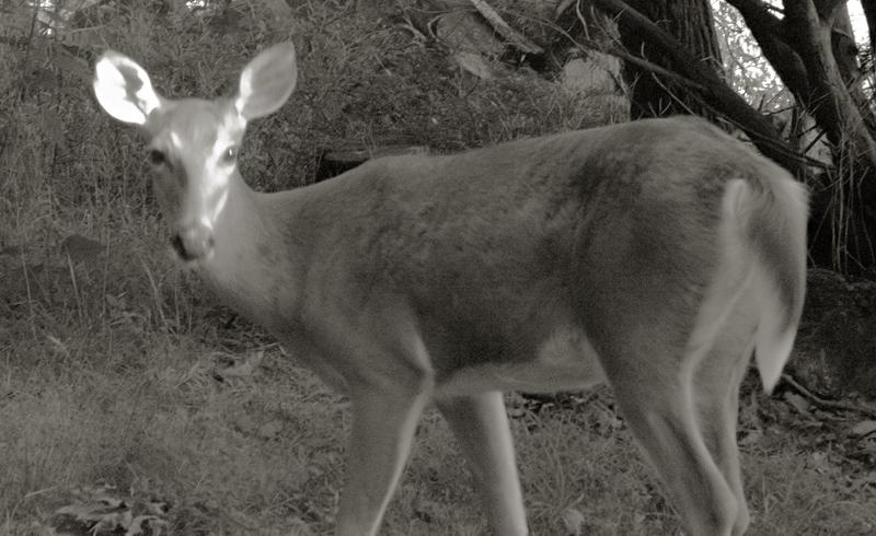 Bambis Mom