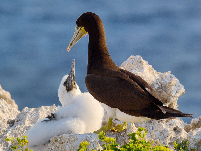 Brown Booby (Sula leucogaster Adult & Chick