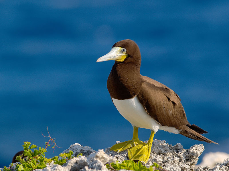 Brown Booby (Sula leucogaster) 2