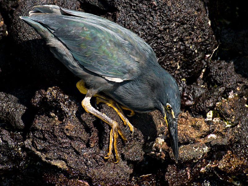 Lava Heron (Butorides sandevalli) ?