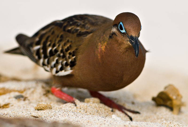 Galápagos Dove (Zenaida galapagoensis) 1