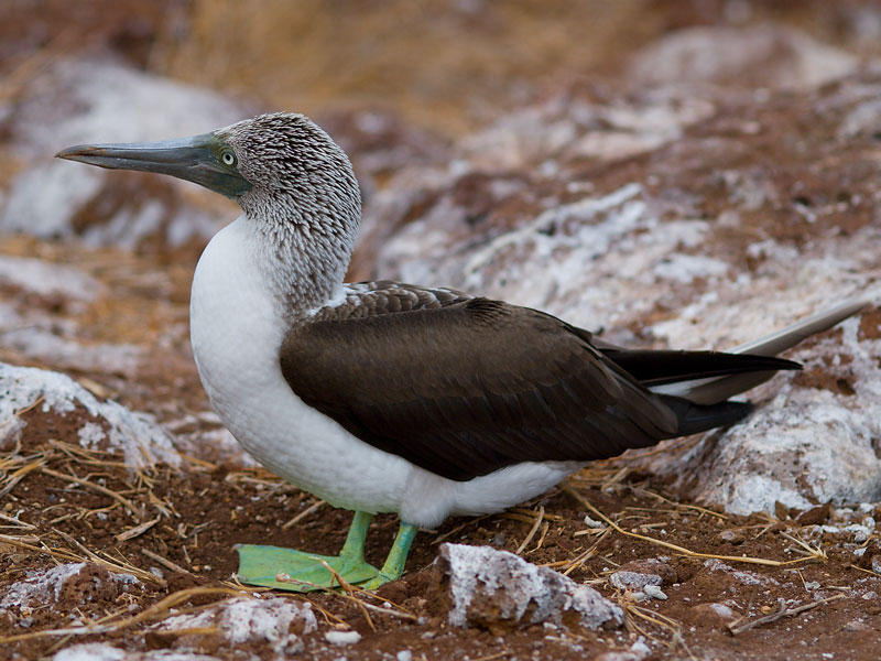 Blue-footed Booby (Sula nebouxii)?