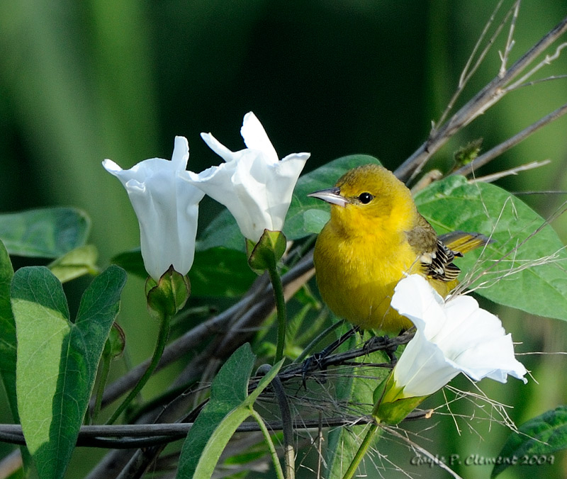Female Orchard Oriole in Morning Glories