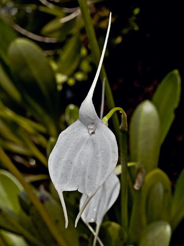 Masdevalia tovarensis