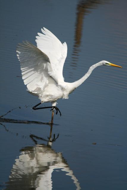 Great White Egret - Egretta alba - Garceta Grande - Agró Blanc