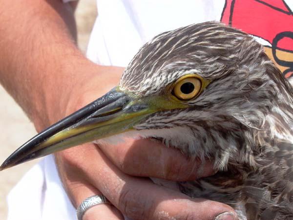 Night Heron - Nycticorax nycticorax - Nathejre - Martinete - Martinet de Nit