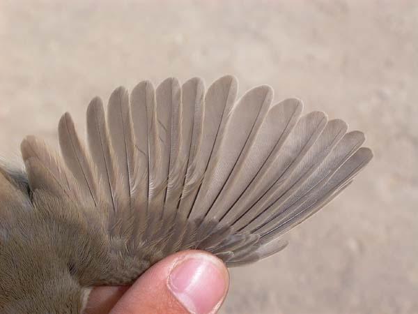 Western Olivaceus Warbler - Hippolais pallida opaca - Vestlig Bleg Gulbug - Zarcero pálido occidental - Bosqueta pàl·lida occid.