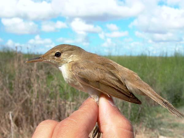 Doñana Reed Warblers - Acrocephalus scirpaceus - Rørsanger - Carricero común - Boscarla de canyar