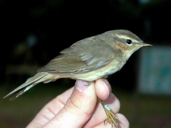 Dusky Warbler - Phylloscopus fuscatus - Ebro Delta (Catalonia) - 19th of November 2005