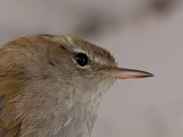 Cettis warbler - Cettia cetti - Rossinyol Bord - Ruiseñor Bastardo - Cettisanger