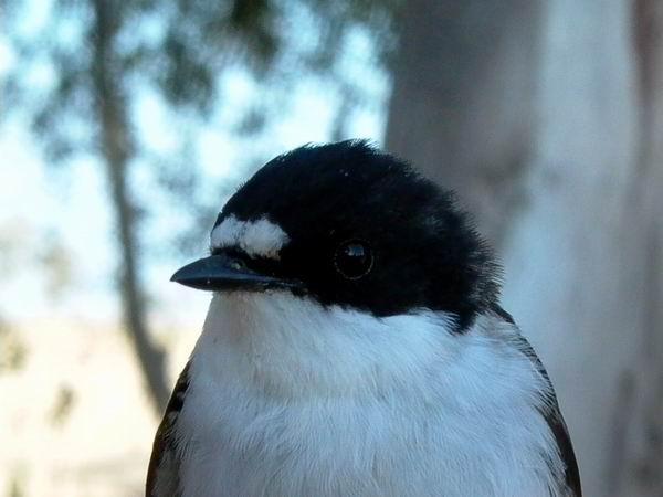 Pied Flycatcher - Ficedula hypoleuca - Papamoscas Cerrojillo - Mastegatatxes - Broget Fluesnapper