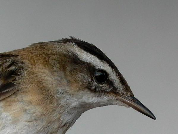 Moustached Warbler - Acrocephalus melanopogon - Carricerín real - Boscarla Mostatxuda - Tamarisksanger