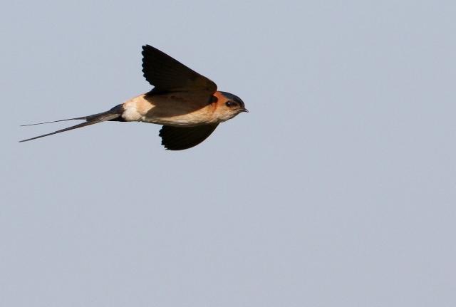 Red-rumped swallow - Hirundo daurica - Golondrina daurica - Orereta cua-rogenca